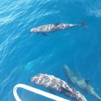 Electra dolphins